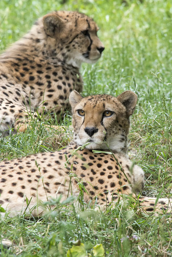 cheetahs royalty-vrije stock fotografie