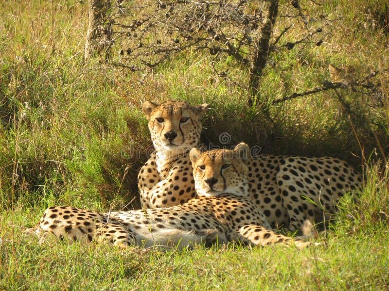 cheetahs photo libre de droits