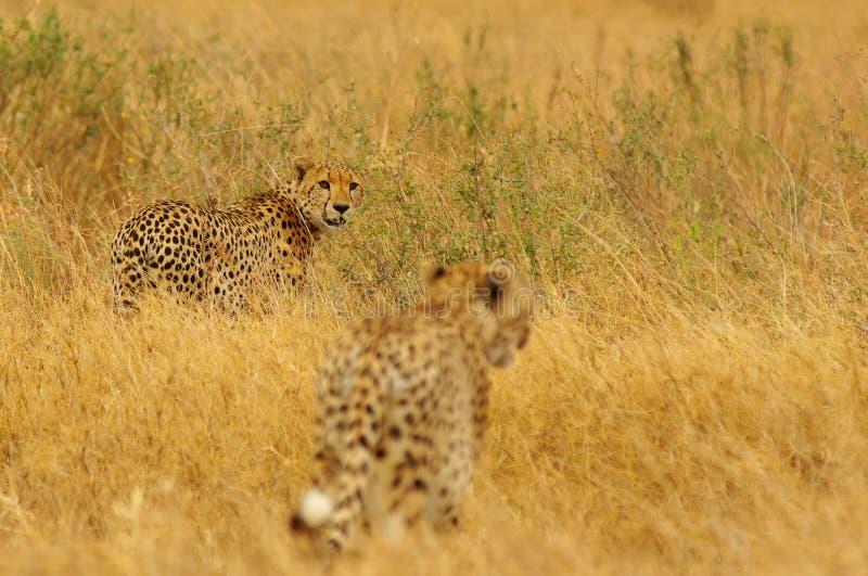 cheetahs photographie stock libre de droits