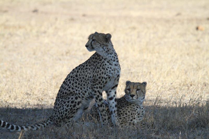 cheetahs photos libres de droits