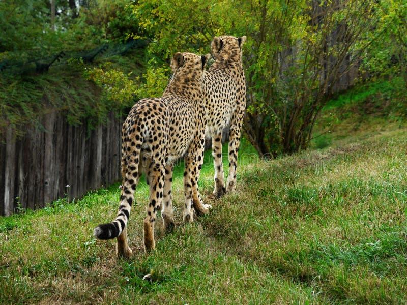 cheetahs immagini stock libere da diritti