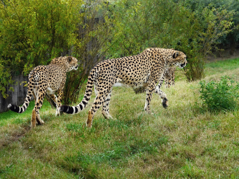 cheetahs image libre de droits