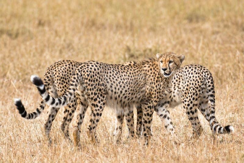 cheetahs imágenes de archivo libres de regalías