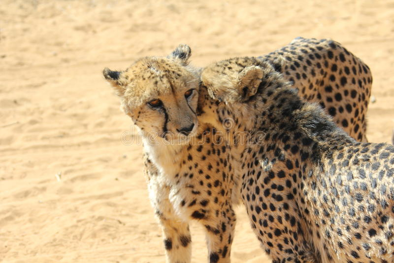 cheetahs image stock