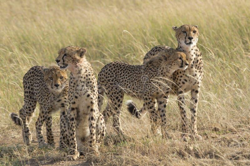 cheetahs fotografia stock