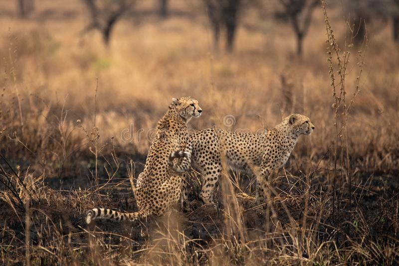 Cheetahs in the African savanna. Safari in the savannah of Serengeti National Park, Tanzania. Close to Maasai Mara, Kenya. Burnt royalty free stock photos