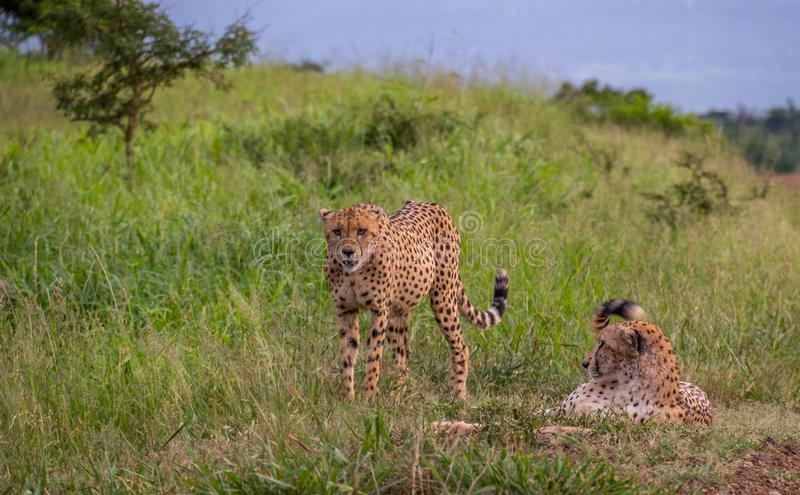 Cheetahs in the African wilderness stock image