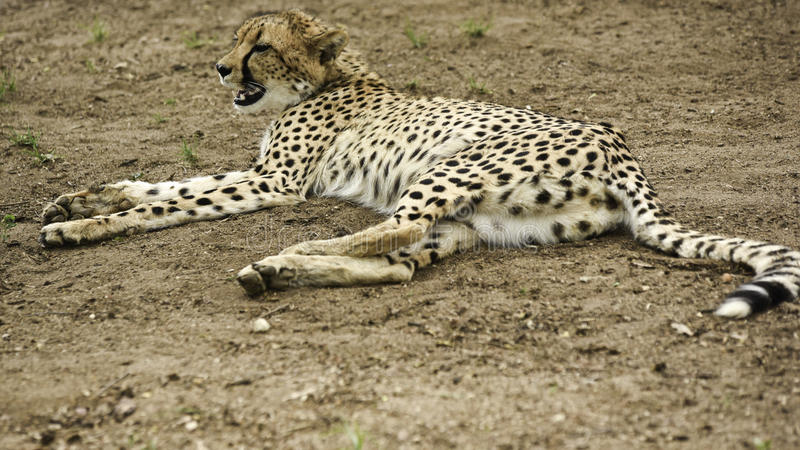 Cheetahs at Hoedspruit Endangered Species Centre. Cheetah relaxing on the sandy ground (Acinonyx jubatus royalty free stock images