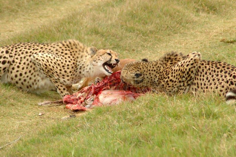 Cheetahs With Kill Royalty Free Stock Photography