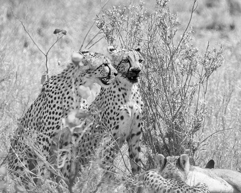 Cheetahs At A Kill stock image