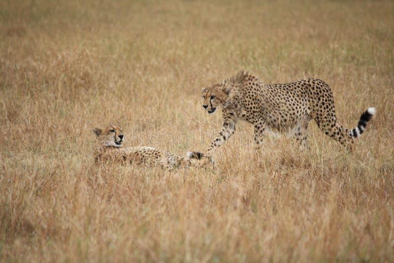 Cheetahs in the Masai Mara royalty free stock images