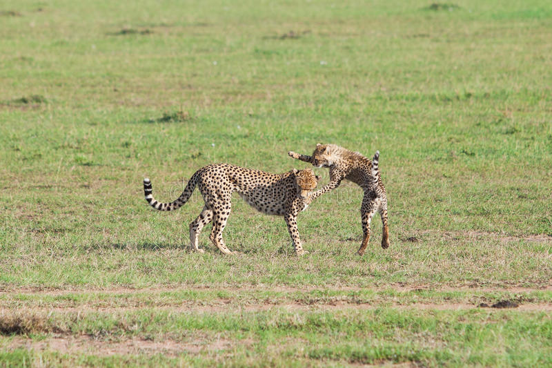 Cheetahs play in the Masai Mara. Kenya stock images