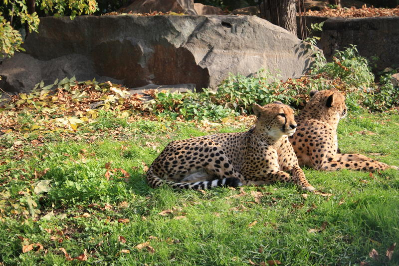 Cheetahs resting. Pair of Cheetahs resting at Moscow Zoo royalty free stock photo