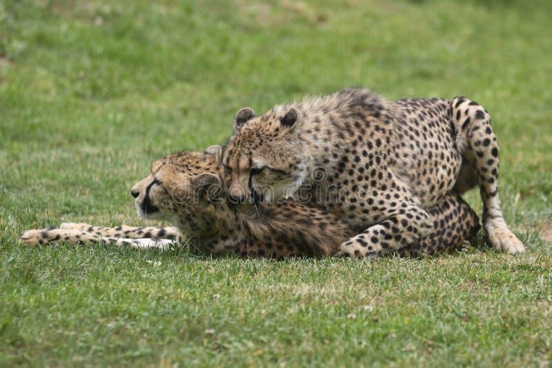 cheetahsihopparning arkivfoton