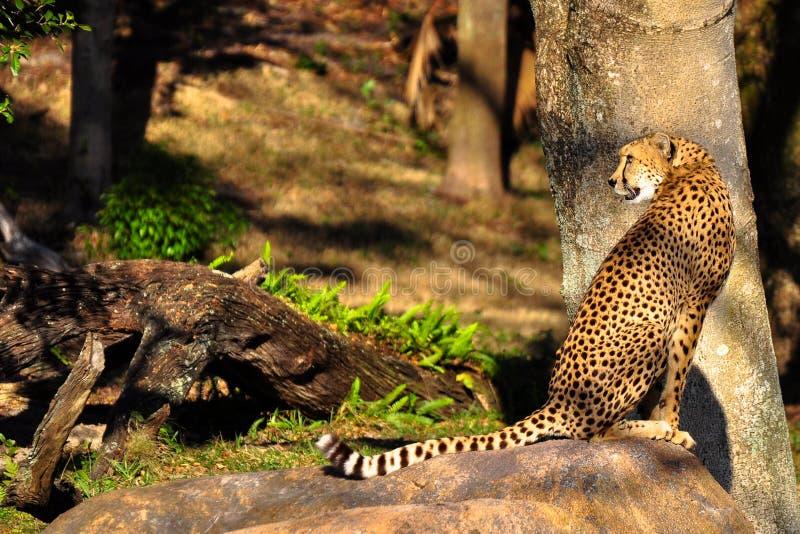 cheetahsitting royaltyfri foto