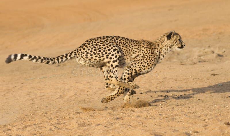 Cheetahspring, (Acinonyxjubatusen), Sydafrika royaltyfria foton