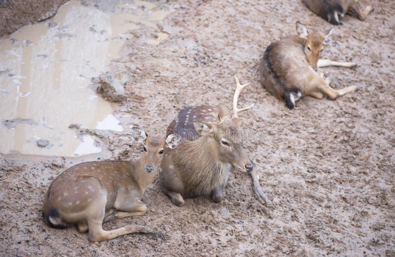 Cheetal ou cervos Spotted fotos de stock