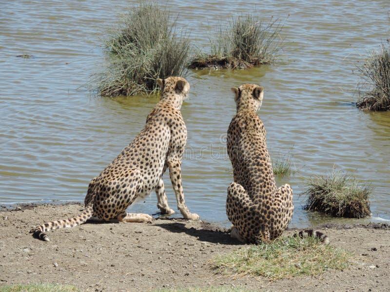 Cheetas africani in albero nel parco nazionale di Serengeti, Tanzania immagini stock libere da diritti