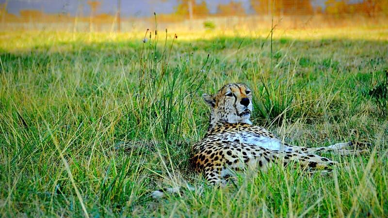 Cheetha лежа в траве стоковые фотографии rf