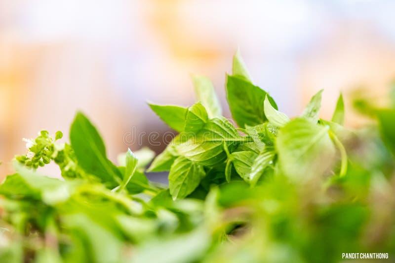 Chef bereiten frische Basilikumbl?tter f?r das Kochen der thail?ndischen Nahrung vor asiatisches Gem?sebasilikumblatt Nahaufnahme stockfotos