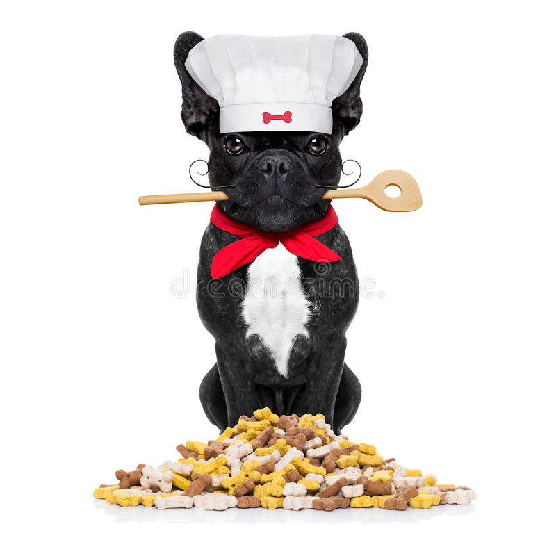 Chef cook dog. French bulldog dog chef cook with kitchen spoon in mouth, isolated on white background stock photography