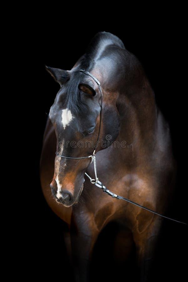 Chef de cheval d'isolement sur le noir, cheval de Trakehner images stock