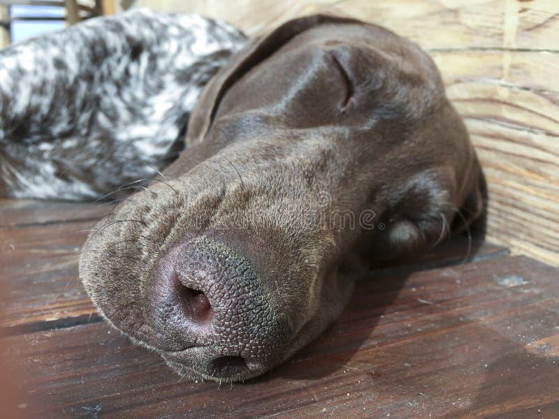 Chef de chien chiot - Race German ShorthRAI Pointer photographie stock libre de droits