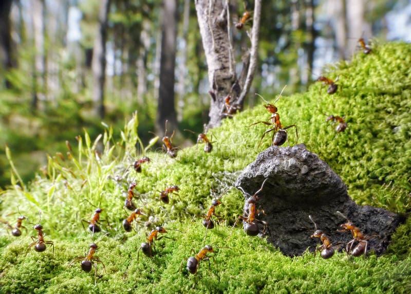 Chef des fourmis rouges et de ses gens photographie stock libre de droits