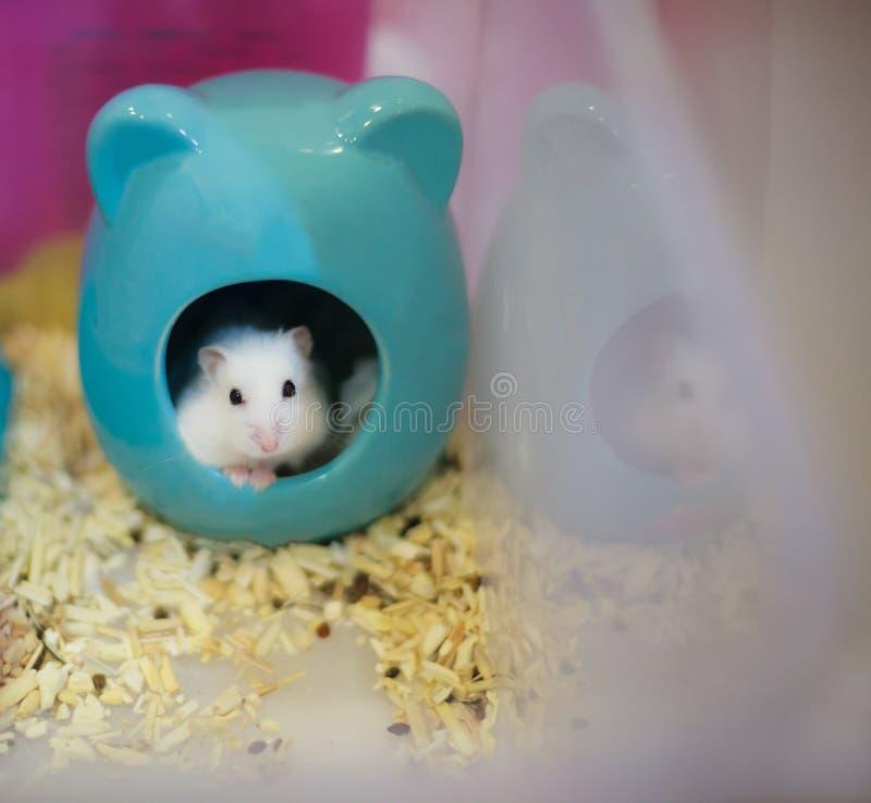 Chef mignon de hamster de nain blanc d'hiver hors de sa maison priant pour l'aliment pour animaux familiers images stock