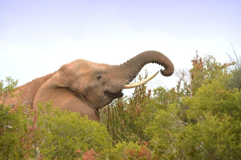 Chefe do apascentamento de elefantes africanos fotografia de stock royalty free