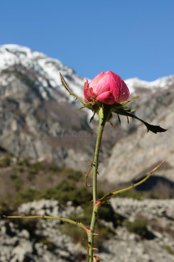 A chegada da estação bonita - uma flor selvagem aumentou, com os picos de montanhas cobertos com a neve no fundo, tempo-seaso fotografia de stock