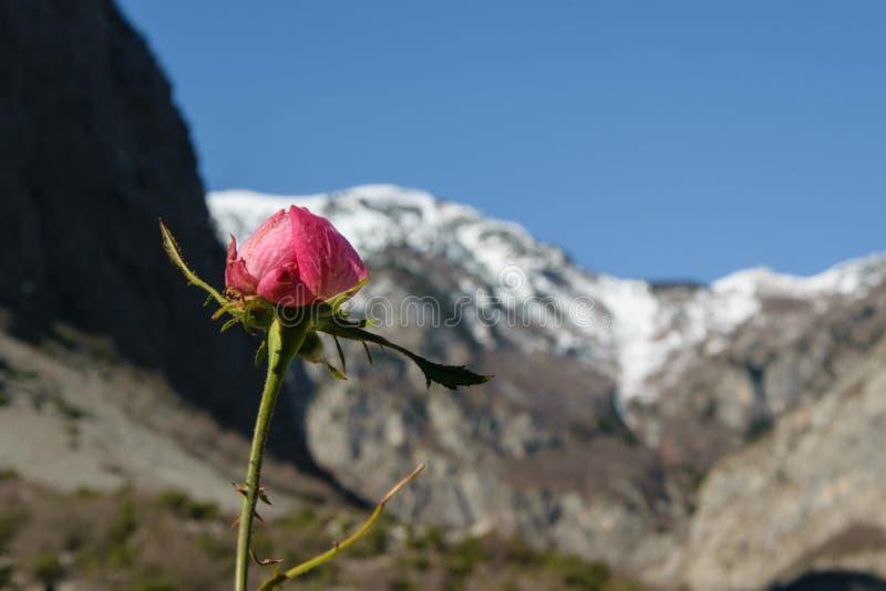 A chegada da estação bonita - uma flor selvagem aumentou, com os picos de montanhas cobertos com a neve no fundo, tempo-seaso foto de stock royalty free