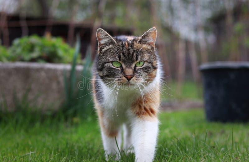 Chegada triunfante de um gato doméstico a nosso jardim Olhar mágico e nobre pelo gatinho corpo e branco colorido, cinzento e pret fotos de stock