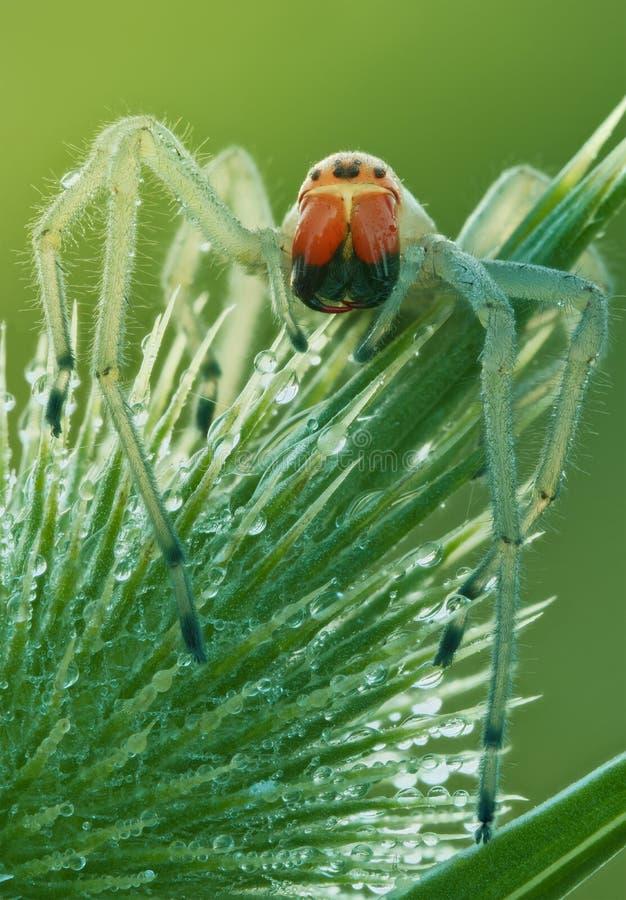 Cheiracanthium在自然关闭的punctorium蜘蛛 在大放大的蜘蛛画象与自然光 库存照片