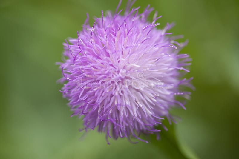Cheirolophus falcisectus自然宏观花卉背景  免版税图库摄影