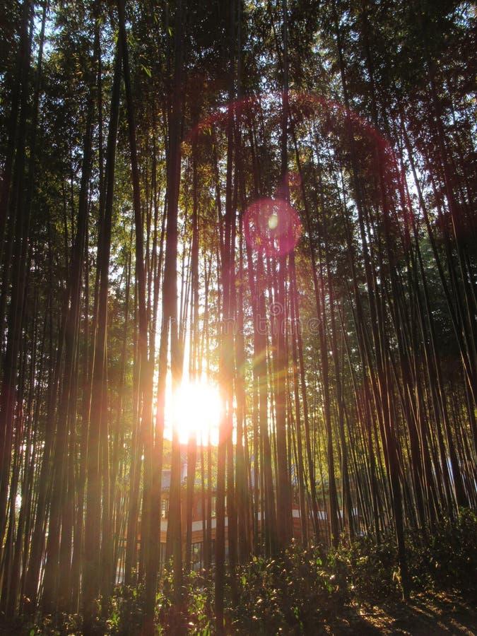 Cheiros do inverno na floresta de bambu fotos de stock royalty free