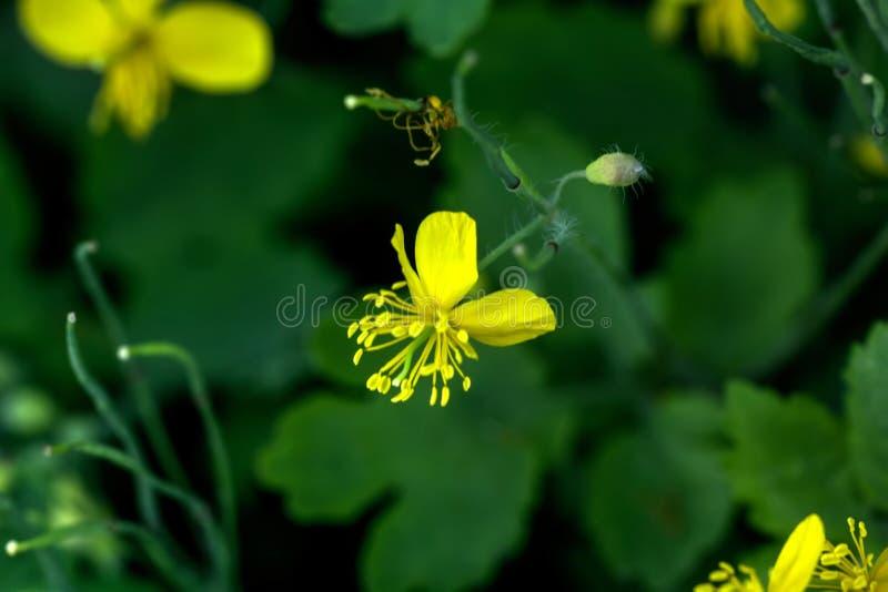 Chelidonium Flor del campo fotografía de archivo libre de regalías