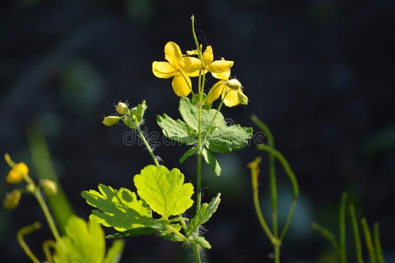 Chelidonium Flores hermosas del celandine Flores amarillas brillantes imagenes de archivo