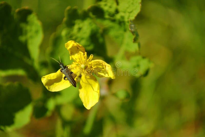Chelidonium majus celandine, tetterwort, tetterwort, nipplewort, άνθη από νίπλευρο ή από κατάποση και μαύρο μικρό σκαθάρι επάνω τ στοκ φωτογραφίες με δικαίωμα ελεύθερης χρήσης