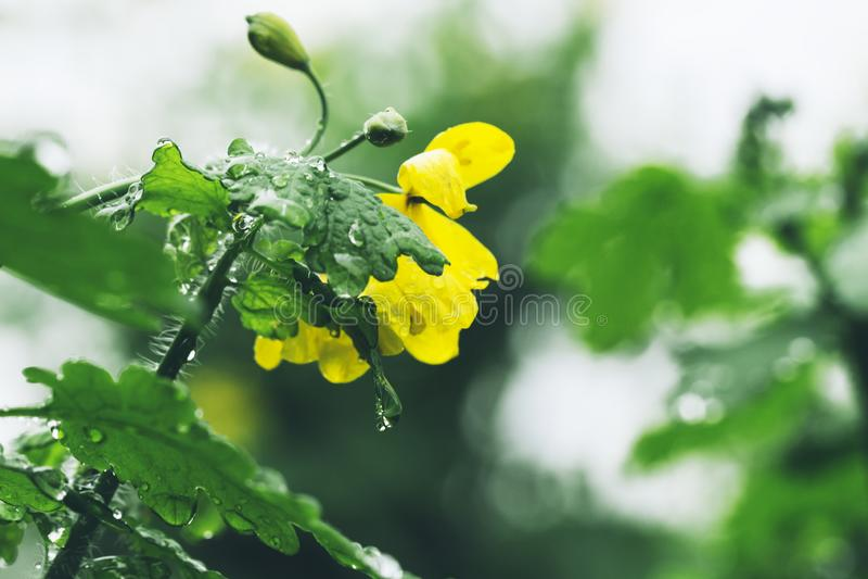 Chelidonium majus, größerer Celandine, nipplewort, Makroweichzeichnung der gelben Blumen stockbilder