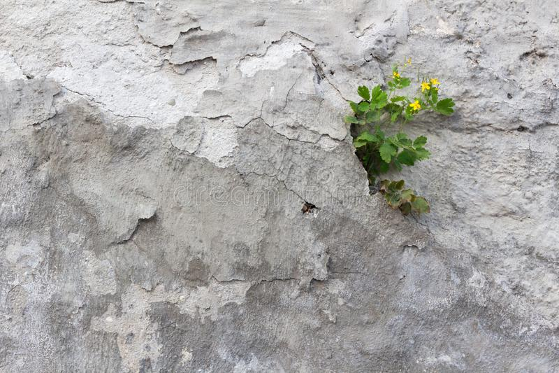 Chelidonium majus tetterwort or greater celandine finds home on a ruined wall stock images