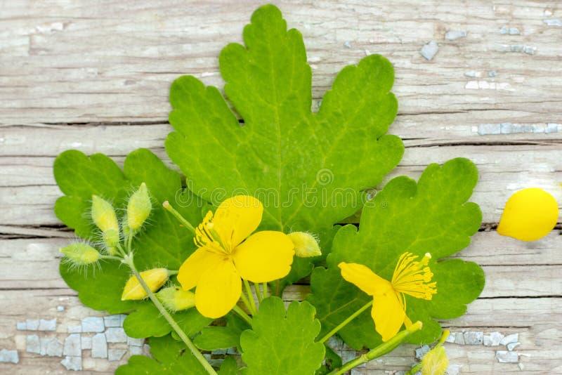 Chelidoniumcelandine gras van celandine met bloemen en bladeren die op houten oppervlakte liggen royalty-vrije stock fotografie