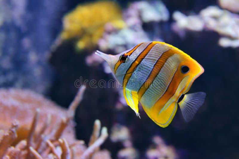 Chelmon rostratus di pesce angelo di Copperband, anche comunemente chiamato il becco Coralfish fotografie stock libere da diritti
