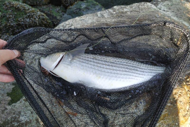 Chelon labrosus del pesce del cefalo di Thicklip in guadino, preso appena dal pescatore fotografia stock libera da diritti