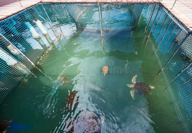 Chelonia mydas in cages. Chelonia mydas breeding center Kung Krabaen Bay, Thailand stock photos