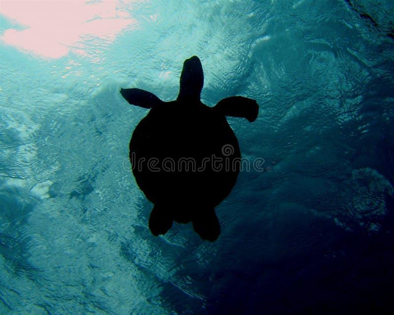 Chelonia mydas 007-3 royalty free stock photos