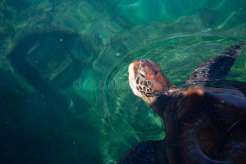 Chelonia mydas turtle peaking out of the water at the Kélonia museum on Réunion island.  stock photography