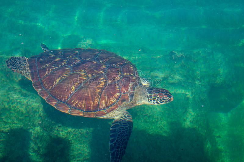 Chelonia mydas turtle t diving in green water. Chelonia mydas turtle diving in green water royalty free stock photos