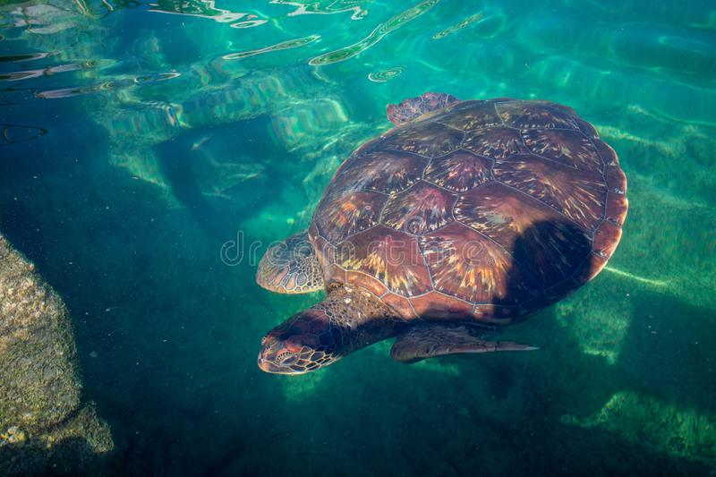 Chelonia mydas turtle t diving in green water next to rock coast.  royalty free stock image