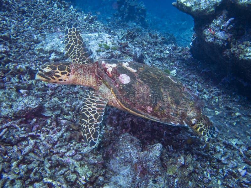 Chelonioideazeeschildpad stock afbeelding